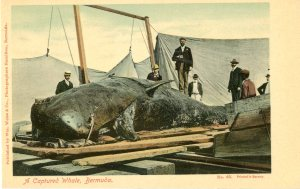Captured whale copy